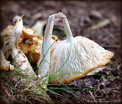 Forlorn Fungus (janinebroscious) Tags: plant nature mushroom grass yard nikon down fungus lookingdown forlorn nikond90 photochallengeorg 2009challenge 2009challenge 2009challenge272 2009challenge272