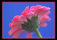 Three Colours (chetty3) Tags: pink flowers macro nature canon petals gerbera sigma105mmf28 eos40d theperfectpinkdiamond perfectpinkdiamond