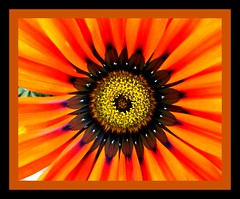 Sol negro (Mirilamadrid) Tags: flores macro gazaa homersiliad mirilamadrid