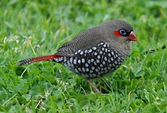 Red Eared Firetail Finch. (john.dart) Tags: birds finch albany australianbirds westernaustralianbirds sigma150500mm johndart redearedfiretailfinch