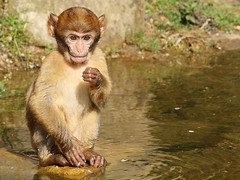 Junger Berberaffe /  Young Barbary Macaque (Macaca sylvanus) (Sexecutioner) Tags: portrait cute nature netherlands animal animals digital canon zoo monkey tiere colorful wildlife natur mona gibraltar primate 2009 apenheul tier niederlande magot primat macaca barbarymacaque berberaap macacasylvanus primaten supershot cercopithecidae cercopithecinae bertuccia  berberaffe berberia anawesomeshot berberape macacodegibraltar monodeberbera macaqueberbre scimmiadibarberia  makakoa copyrightsexecutioner berberabe magotas berberiebei  berberapa makakmagot berbermakk magotbezocas makakgolf magotti berberiapina      mrticotddjibraltaraffe
