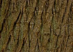 Natural Lattice (lerrynpics) Tags: trees brown bark virginiawater