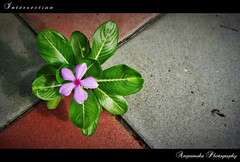 Intersection /  (AmpamukA) Tags: pink wallpaper plant flower green leave leaves rose garden leaf bangkok cement ground thai periwinkle intersection apocynaceae madagascar lumpini vinca suan roseus     catharanthus ampamuka