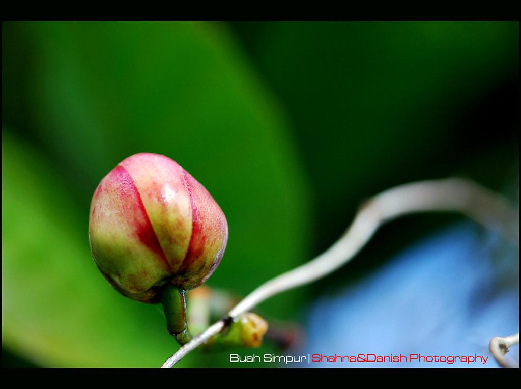buah simpur