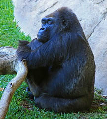 Thoughtful Gorilla (S@ilor) Tags: espaa eye animal zoo big spain mediterranean gorilla south thoughtful costadelsol contact andalusia andalusien malaga primates fuengerola silor bigprimates