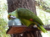 The same parrot from Panajachel.