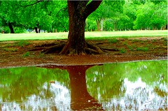 cloudy day in the park (spysgrandson) Tags: park reflection tree green nature water puddle texas sony roots wichitafalls reflexions sonycybershot cloudyday naturescene lucypark 050309 anawesomeshot spysgrandson