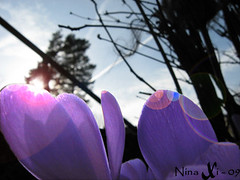 krokusar 2 (Nina Bille) Tags: makro blommor krokus ljus