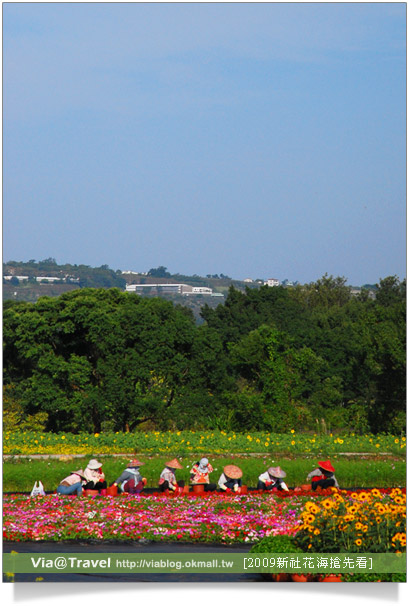 2009新社花海-98新社花海節最新花況
