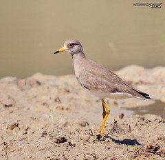 Grey Headed Lapwing (Vannelus cinereus) (Sir Mart Outdoorgraphy) Tags: greyheadedlapwingvanneluscinereus vanneluscinereus lapwing bird sirmart outdoorgraphy penangflickr penangflickrgroup penang bokeh outdoor best menarik malaysia jurugambar photographer butterworth nikon d90 nikonian nikonuser magazine education indah unik birding birder birdwatching selama perak sgbayor sigma150500