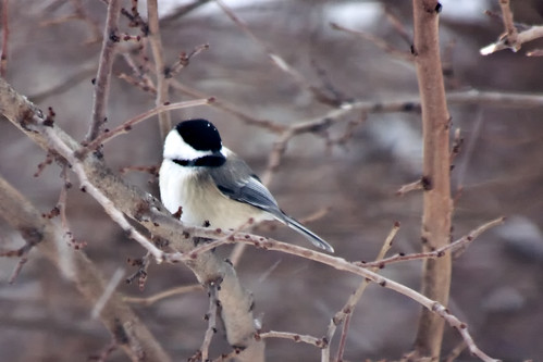 Chickadee with a snowflake on his cap