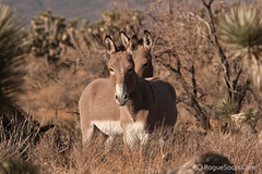Wild-Burros-in-Red-Rock-Canyon-national-conservation-area-Nevada-039.jpg (RogueSocks) Tags: redrockcanyon usa weather animal day desert lasvegas nevada donkey clear burro jackass nevadadesert bluediamond bonniesprings wilddonkey timeofday wildburro springmountainranchstatepark nevadastatepark nevadausa redrockcanyonnevada redrockcanyonlasvegas redrockburro redrockcanyonvegas nevadawildburro wildjackass