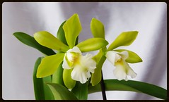 Epicattleya Siam Jade (mikepu1) Tags: orchid flower epicattleya siamjade