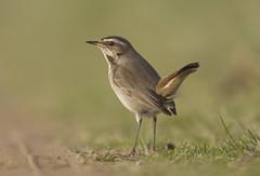 Hint of Bluethroat (J J McHale) Tags: bluethroat bird wildlife nature wing