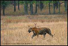 Bokha walking through the meadows (Saran Vaid) Tags: park wild portrait india male nature beautiful beauty face forest cat mammal outdoors golden nationalpark dangerous eyes feline asia glare jeep expression stripes wildlife tiger meadows royal reserve sigma safari exotic national jungle killer beast hunter endangered elegant predator wildcat tala creature habitat majestic powerful carnivorous bengal sanctuary extinct alert spotting animalkingdom carnivore dominant savage sighting bengaltiger madhyapradesh pantheratigris bandhavgarh jeepsafari bandhavgarhnationalpark bokha projecttiger canoneos400d royalbengaltiger tigersighting tigerindia indiatiger sigma150500 sigma150500mmf563dgoshsm rajbhera