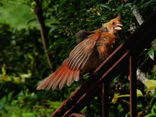 Cardinal sunning - 7-2-09
