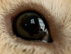 in a pig's eye (debunix) Tags: macro guinea pig cavy george