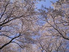 Flowers #70 (tt64jp) Tags: pink plants plant flower color colour nature floral fleur colors japan japanese flora blossom flor bloom   flowering sakura  blume   flore kiryu           yoshinocherry