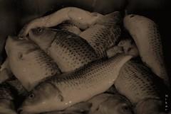 Dead Fishes (Nikar`-) Tags: fish dead iran free iranian safe  mahi   morde nikar  nikond80    mahigir