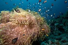 Two-banded anemonefish (1) (Paul Flandinette) Tags: ocean nikon underwater redsea egypt anemonefish rasmohammed amphiprionbicinctus beautifulfish anemonecity anemonefishjuveniles twobandedanemonefish