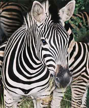 zebra-picture