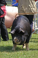 Berkshire Sow - Best of Breed