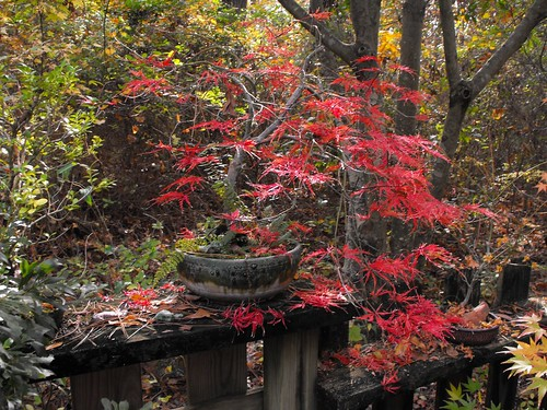 laceleaf japanese maple bonsai. Copy of Laceleaf Maple bonsai 5 | Flickr - Photo Sharing!