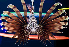 Red Lionfish (julesnene) Tags: fish oregon aquarium newport lionfish saltwater venomous oregoncoastaquarium scorpionfish firefish redlionfish zebrafish turkeyfish juliasumangil julesene imnoichthyologist
