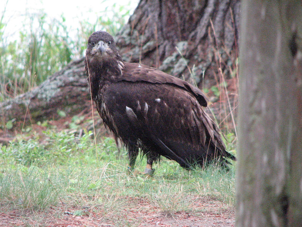 Eagle, recently fledged