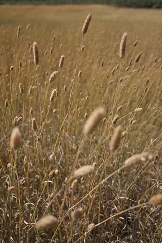 Wild Grasses II