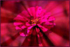 Zippy Zennia (Mona Hura) Tags: pink flower blossom petal bloom zennia 3841 decaturmississippi neldasflowerbed