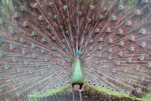 6094 Peacock