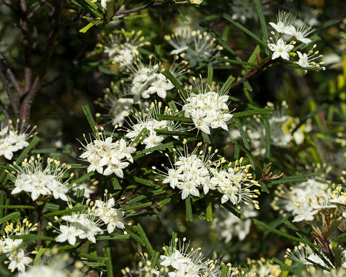 Oznativegardening entries tagged with flowers in summer colours dark green glossy foliage and a profusion of pale yellow or white flowers in spring heightwidth 06 to 15 m wide x 1 to 25 metres high mightylinksfo