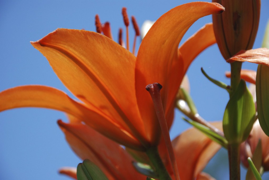 Orange Daylily with sky back ground