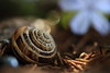 dreaming in blue bokeh:  259/365 (helen sotiriadis) Tags: flowers blue brown macro green closeup canon published dof bokeh snail depthoffield 365 gastropod canonef100mmf28macrousm canoneos40d toomanytribbles