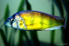 Haplochromis sp. 44 (20) (Appleskatephoto) Tags: fish tank malawi cichlids ciclidos mbunas
