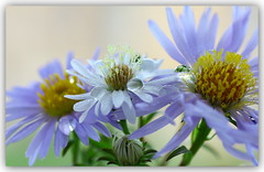 Wee blue eyes (Nestor M) Tags: flower soe threeflowers totalphoto theunforgettablepictures macroflowerlovers