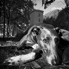 [ Hulk ] (hezur) Tags: dog photography photo foto photographer perro hulk fotografia serie torres txakurra hezur argazkiak hodei argazkilaritza wwwhezurcom unavidadeperros