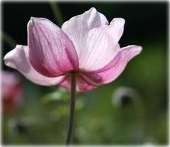 ~ a sense of inner peace ~ (summerbloomz etc) Tags: pink flower glow september anemone lovely sunlit 2009 prettypetals diamondclassphotographer flickrdiamond goldstaraward hppt vosplusbellesphotos gardensales