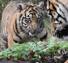 Arguing with Dad (Gary Wilson  ) Tags: ireland nature animal canon eos cub wildlife tiger bigcat sumatrantiger panther sumatran tigercub dublinzoo 14x 100400 platinumheartaward vosplusbellesphotos emaswanita