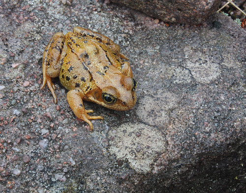 Common frog, Rana temporaria