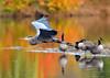 The Passing II (ozoni11) Tags: autumn bird heron birds animal animals geese interestingness nikon maryland columbia goose explore waterfowl greatblueheron canadagoose canadageese herons columbiamaryland 166 d300 greatblueherons interestingness166 i500 michaeloberman ozoni11 explore166