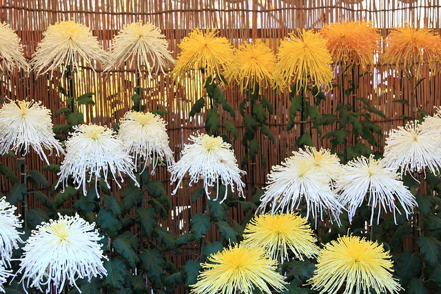 Chrysanthemum / 菊(きく)
