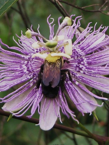 bumblebee on passionflower