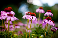 at 1.2 the world changes (nosha) Tags: flowers summer usa flower nature beautiful beauty minnesota 50mm nikon echinacea bokeh july spot mn 2009 lightroom f12 flowersplants blackmagic nosha 50mmf12 niftyfifty hbw 0ev fantasticflower 15000sec natureycrap bokehdots nikond3 summer2009 0mmf0 15000secatf12 ul20090809 18augulh