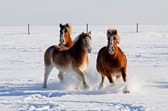 Horses DSC_0183 (Ron Kube Photography) Tags: horse canada animal rural nikon farm alberta southernalberta d300s ronaldok nikond300s ronkubephotography