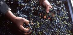 La gente empieza a valorar los Cabernet Sauvignon de la Patagonia