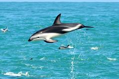 RtW2009 204 Dusky Dolphins - Kaikoura Dolphin Encounter (mothclark62) Tags: newzealand wildlife southisland kaikoura duskydolphin dolphinencounter