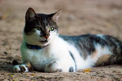 Fulano (flavioapu) Tags: praia animal natureza gato felino ambiente flavioapu