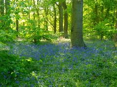 Bluebell Wood (max_y_mum) Tags: coventry brandonmarsh